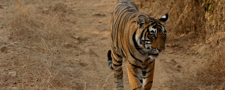 Ranthambhore-tigers